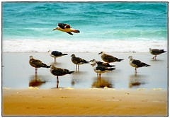Seagulls (gilxxl) Tags: praia portugal mar gaivotas areia sony natureza oceano coth greatphotographers bej dslra100 colorphotoaward platinumheartaward praiadavieira ubej dragondaggerphoto artistictreasurechest bestcapturesaoi magicunicornverybest coth5 magicunicornmasterpiece coppercloudsilvernsun portugalmagico mygearandme mygearandmepremium mygearandmebronze mygearandmesilver mygearandmegold mygearandmeplatinum mygearandmediamond gilbertooliveira praiadevieiradeleiria artistoftheyearlevel3 artistoftheyearlevel4 musictomyeyeslevel1 peregrino27life aboveandbeyondlevel1 gilxxl