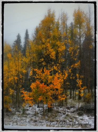 Snow in the Golden Aspens by bichonphoto