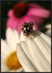 IMG_7319 Deploying Parachute 7-13-11 (arkansas traveler) Tags: flowers daisies echinacea insects bugs ladybug bichos macrolicious bokehlicious naturewatcher