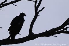 Bald Eagle (Dave Blinder) Tags: wild ny newyork bird nature silhouette canon outdoors eagle wildlife bald falls national american 7d perched prey fingerlakes seneca refuge drb 2011 canonextenderef14xii img2022 canonef500mmf4lisusm montezumanwr