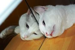 Attack of the Clones (skutul) Tags: italy cats white reflection home mirror chats nikon italia gatos yogurt clone gatti pavia d80