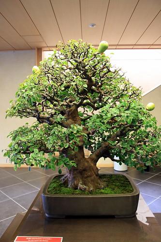 花梨 Karin (Chinese Quince) - 盆栽美術館 - bonsai museum