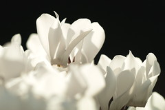 Witte cyclamen (nikjanssen) Tags: flowers white cyclamen bloemen
