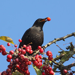 Blackbird (Pepijn Hof) Tags: colour bird eye nature birds canon wildlife nederland natuur turdusmerula blackbird vogel berrys merel bes 300mmf4 haastrecht southholland bessen 40d