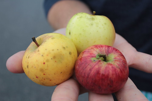 Apples, Wiscasset, Maine