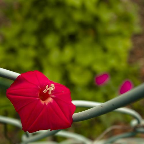 Resting Fence Blossom