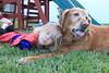 IMG_9114 (drjeeeol) Tags: dog pet halloween goldenretriever costume backyard katie tiger superman superhero cape supergirl triplets toddlers 2011 36monthsold