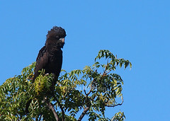 Red-tailed Black-Cockatoo (Paula McManus) Tags: bird newsouthwales endangered cockatoo zuiko brokenhill menindee calyptorhynchusbanksii redtailedblackcockatoo copihollow paulamcmanus olympuspenepl1