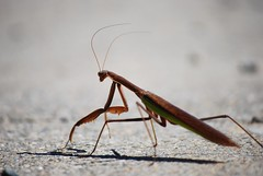 Unaware. (spacktackular) Tags: mantis praying prayingmantis