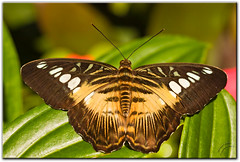 Clipper (mlibbe) Tags: nature butterfly florida wildlife universityofflorida insects clipper parthenossylvia butterflyrainforest