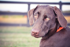 Addie~The eyes have it (Freckles_photography) Tags: dog brown beauty eyes chocolate farm country chocolatelab greeneyes laborador d5000