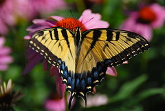 Beauty in the Sunshine! (ineedathis, Everyday I get up, it's a great day!) Tags: pink blue summer orange black flower macro green beauty yellow butterfly garden insect wings echinacea bokeh swallowtail easterntigerswallowtail nikond80