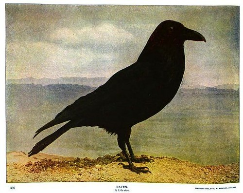 Raven from Nature Neighbors - Audubon Magazine 1914