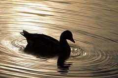 ripples (Armin Hofen) Tags: sunset silhouette munich münchen duck sonnenuntergang ripples ente englischergarten wellen