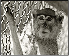 Portrait (BurstsofSingleMindedness is looking for an alterna) Tags: animals zoo monkey caged zooanimals blackwhitephotos animalsinbw blinkagain