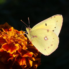 spotlight (aokcreation) Tags: flower color macro nature animal yellow closeup butterfly garden insect botanical countryside blossom wildlife ngc npc naturesfinest top20butterflymoth fantasticnature anawesomeshot sony350 wonderfulworldofmacro awesomeblossoms