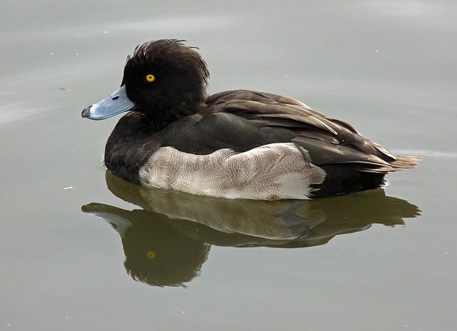 25247 - Tufted Duck, Llanelli WWT