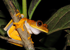 Map treefrog (asnyder5) Tags: nature rainforest wildlife conservation amphibian science guyana frog monitor jungle biology animalia biodiversity anura amphibia hylidae chordata iwokrama operationwallacea opwall hypsiboas taxonomy:class=amphibia taxonomy:order=anura taxonomy:kingdom=animalia taxonomy:phylum=chordata taxonomy:family=hylidae andrewsnyder maptreefrog hypsiboasgeographicus taxonomy:genus=hypsiboas guianashield asnyder5 andrewmsnyder taxonomy:species=geographicus taxonomy:binomial=hypsiboasgeographicus ranageogrfica ranageografica taxonomy:common=maptreefrog taxonomy:common=ranageogrfica taxonomy:common=ranageografica