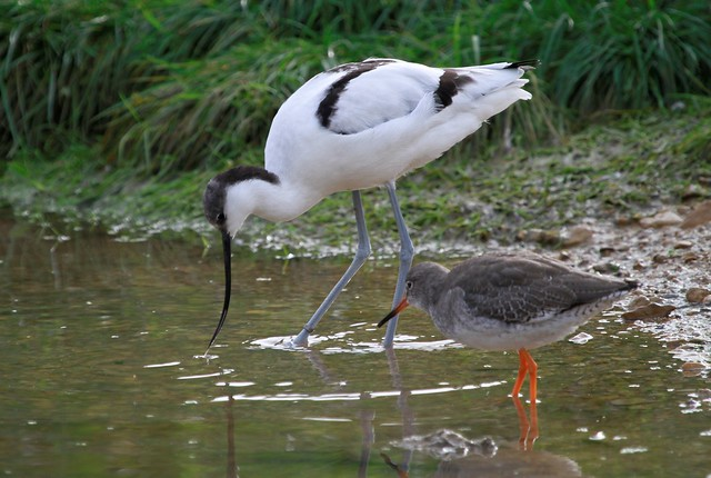 Avocet  and Redshank