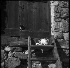 come lucertole (Robignuud) Tags: bw 6x6 film gatti animali tessar casedipietra