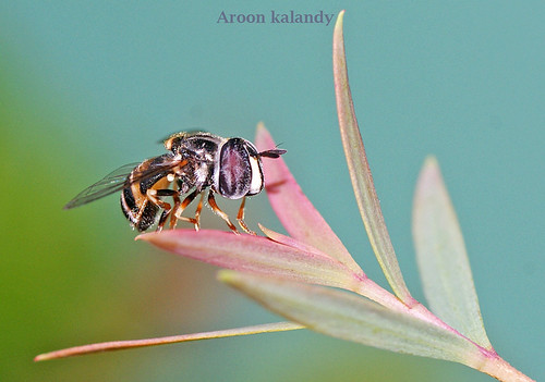 The serene Hoverfly........