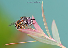 The serene Hoverfly........ (aroon_kalandy) Tags: light india macro green nature beautiful beauty lights leaf asia artistic awesome kerala bee greatshot serene lovely tamron majestic clinging bes calicut kozhikode beautifulshot tamronspaf90mmf28dimacro kenkoet natureselegantshots panoramafotográfico aroonkalandy flickrsportal best4gpin bestphoto4gpinoct2011