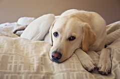 hogan, october 2011 (flygirlmeg) Tags: dog nikon labrador elements labradorretriever acr yellowlabrador yellowdog cs4 d90 florabella coffeeshopactions pse8 neysys