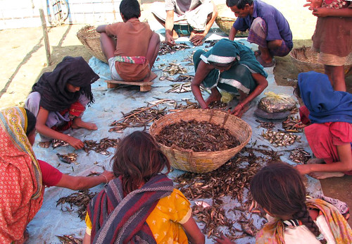 Sorting of fish in a fish landing center, Sunamganj, Bangladesh. Photo by Balaram Mahalder, 2008