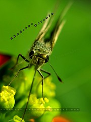 Bug in Green (Shahriar Xplores...) Tags: flower macro green canon bug eos dof image dhaka 60mm sell catchy bangladesh gettyimages highview gettyimage 60mmmacro aisa 550d t2i 550dmacro requesttolicense eoscanon550d t2imacro bestcanonmacro shahriarphotography