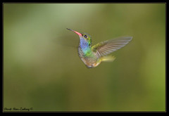 Rufous-tailed Hummingbird  (Amazilia tzacatl) (doritbz) Tags: birds costarica hummingbird puntarenas cr rufoustailedhummingbird amaziliatzacatl mygearandme mygearandmepremium mygearandmebronze mygearandmesilver mygearandmegold mygearandmeplatinum mygearandmediamond blinkagain bestofblinkwinners masterclasselite
