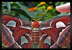 "papillon Attacus Atlas (juliejolie2011 ""Hello les amies et amis) Tags: nikon papillon coolpix atlas p 100 gant attacus"