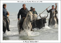 Abrivados aux Saintes Maries de la Mer (Michel Seguret thanks you all for + 8.1 M views) Tags: november sea horses horse mer france beach strand caballo cheval caballos see mar novembre mare traditions playa bull pro provence tradition pferde plage cavalli cavallo pferd toro chevaux camargue smrgsbord saintesmariesdelamer taureau abrivado kartpostal manade mcher camarguais manadier dragongoldaward flickrpopularphotographer michelseguret