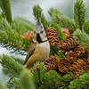 Crested Tit (mnielsen9000) Tags: crestedtit lophophanescristatus thegalaxy doubleniceshot tripleniceshot mygearandme mygearandmepremium mygearandmebronze mygearandmesilver mygearandmegold mygearandmeplatinum