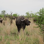 "Water Buffalo <a style=""margin-left:10px; font-size:0.8em;"" href=""http://www.flickr.com/photos/14315427@N00/6346410111/"" target=""_blank"">@flickr</a>"