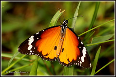 1772 Plain tiger (chandrasekaran a 560k + views .Thanks to visits) Tags: india nature butterfly chennai adyar plaintiger theosophicalsociety canon60d chandrasekarana