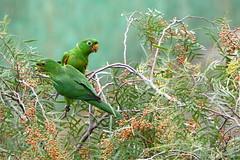 (Bruno Fraiha) Tags: verde green aves sjc papagaio maritaca bfstudio brunofraiha periquitoesmaracana