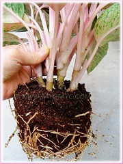 Aglaonema 'Miss Thailand' - clump of 4 plants removed from the pot for replant and propagation, Oct 15 2011