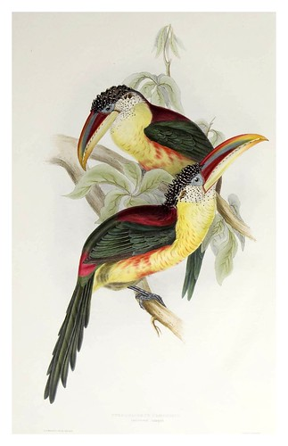 003-Araçari Curl con cresta-A monograph of the Ramphastidae or family of Toucans-1834- John Gould