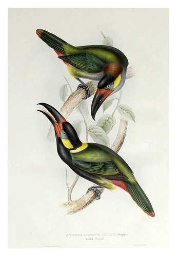 006- Araçari Koulik-A monograph of the Ramphastidae or family of Toucans-1834- John Gould