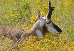 Pronghorn Antelope male at National Bison Range near Misoula in MT-13 7-23-10