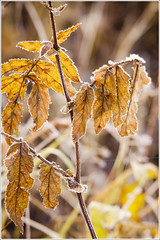 20111025. Fall. Frost. 9088. (Tiina Gill (busy)) Tags: autumn fall nature yellow leaf estonia coth coth5