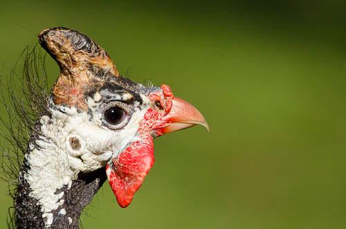 Perlhuhn - Guinea fowl