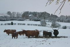 "Cattle in snow • <a style=""font-size:0.8em;"" href=""http://www.flickr.com/photos/78416945@N02/7021848653/"" target=""_blank"">View on Flickr</a>"