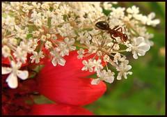 IMG_1034 Flowers on the Red Carpet 8-6-11 (arkansas traveler) Tags: flowers ant insects bugs macros bichos gaillardia babysbreath macrolicious bokehlicious naturewatcher