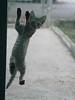 Desperate Housecats (cormend) Tags: door tourism america cat canon puerto island eos climb feline play puertorico screen tourist rico culebra american caribbean curious dewey 50d cormend b2012