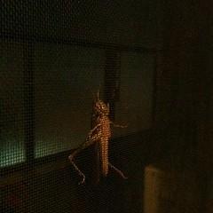 網戸にバッタ(いなご?)がっっ。こわいよー。どこからきたんだよー。ここはマンションの13階なんだぞ。