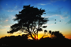 Cupressus macrocarpa (Lee Sie) Tags: ocean blue light sunset sun tree birds silhouette coast pacific pidgeons carlsbad ponto pfa cloudssky terramar