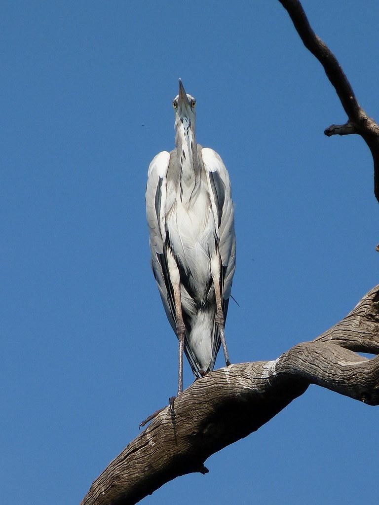 07-10-2011-grey-heron3