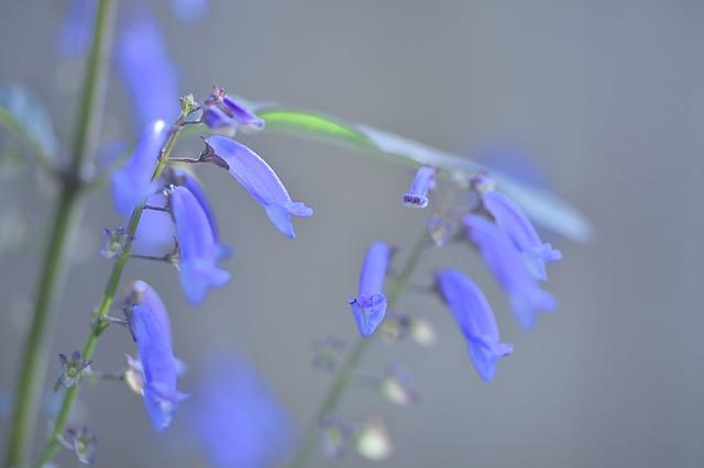 秋丁字(アキチョウジ)trumpet spurflower
