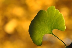 soon to turn (christiaan_25) Tags: autumn sunlight detail green fall leaves lines yellow contrast golden leaf ginkgo stem october focus bokeh background  maidenhairtree ginkgobiloba depth radiant ginnan limned ynxng ich